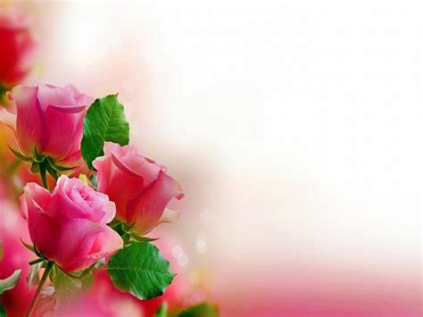 pink rose hd photo graphic backgrounds  powerpoint