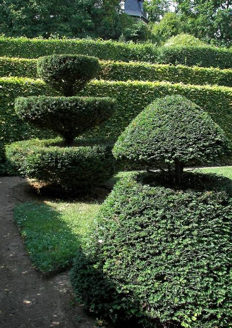 Taxus Baccata Eibe Immergrüne Formgeschnittene Koniferen