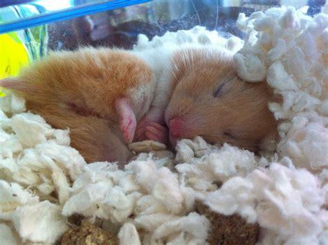 adorable teddy bear hamster ramona loves  sleep