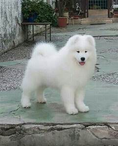 107 best images about My Big White Fluffy Dog on Pinterest ...