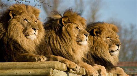 Beautiful Dangerous African Lion Hd Wallpapers Free