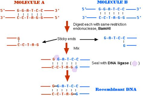 the enzyme uses atp to unwin dna template 組み換え dna 技術