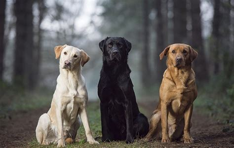 Best labrador colour: does coat make a difference? - The Field