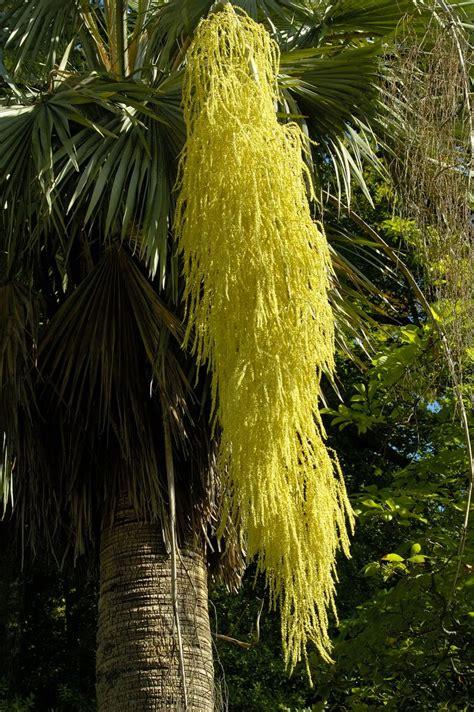 Dias com árvores: Palmeira azul de crina dourada