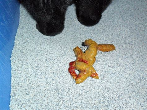 Blood In Stool Cats Treatment Cute Cats