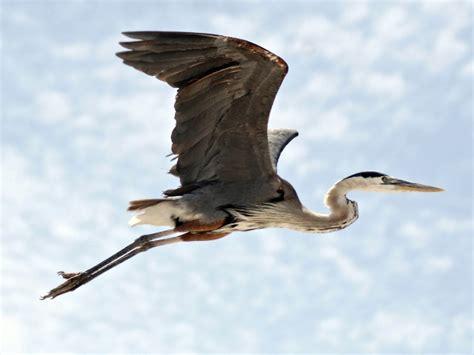 great blue heron  flight desktop wallpaper