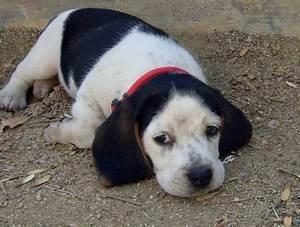 black and white beagles - Google Search He looks like ...