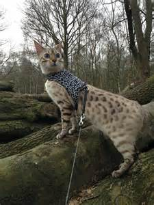 snow bengal cat jimmy snow bengal cat