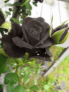 Real Black Roses Pictures Black roses iii by | Black ...