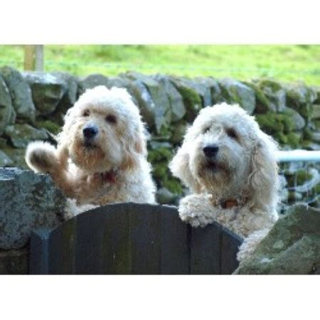 Burnside Goldendoodles In Dumfries Dumfries And Galloway