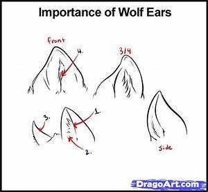 Drawn wolf ear - Pencil and in color drawn wolf ear