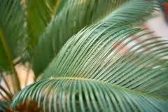 Geranien Gelbe Blätter : palmfarn berwintern diese ma nahmen sollten sie ergreifen ~ Orissabook.com Haus und Dekorationen