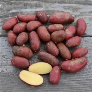Pomme De Terre Peau Nom les plants de pomme de terre de la ferme de sainte marthe