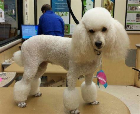 Best 25+ Poodle Cuts Ideas On Pinterest