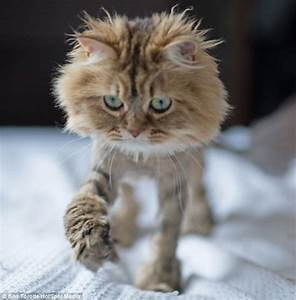 Displaying (20) Gallery Images For Blue Persian Cat Lion ...