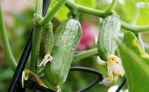 Gurken Im Kübel : gurken anbauen ertragreiche herrlich frische gartenfrucht ~ Frokenaadalensverden.com Haus und Dekorationen