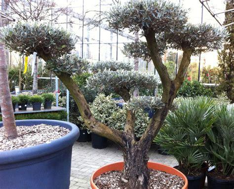 taille des oliviers en pots 28 images les oliviers inspirations desjardins olivier tronc