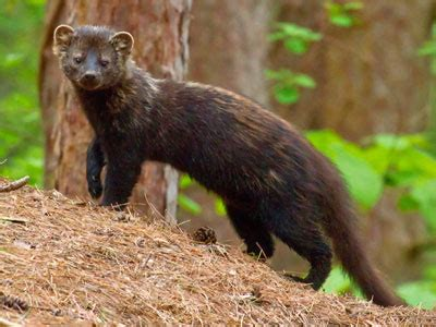 fisher cat images cats that won t go outside at what do you do