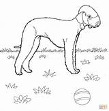 Coloring Bedlington Terrier Dog Cani Dogs Printable Mini Pinscher Colorare Disegni Jack Russell Terier Stilizzati Pies Drukuj Justcoloringbook Dentistmitcham sketch template