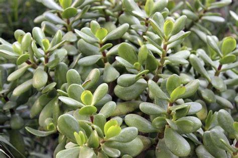 succulent plants poisonous cats are jade plants poisonous ehow