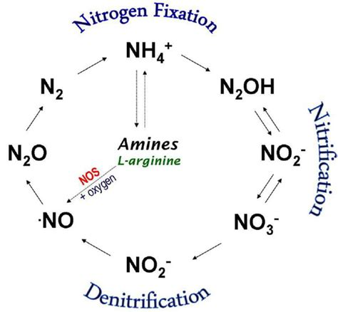 Enzymatic Cycle Diagram by Nitrogen Cycle Enzymatic Nos Independent Synthesis The