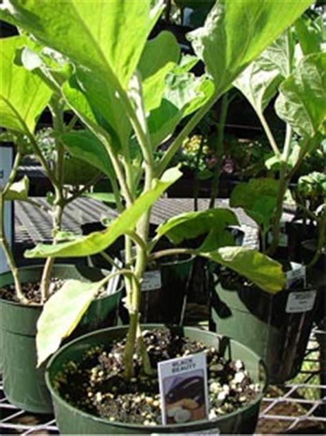 cultiver aubergine en pot aubergine culture et conseils