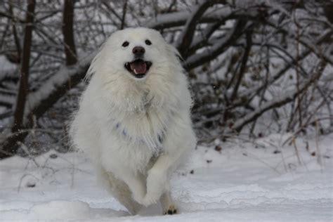 snow dogs  wallpaper wallpapersafari