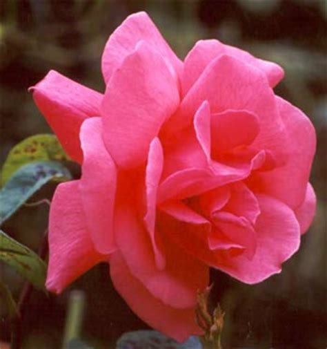 feeding roses feeding roses 3 top tips to a well balanced diet