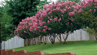 Texas Gardener Magazine by The Complete Guide To Crepe Myrtle Trees Southern Living