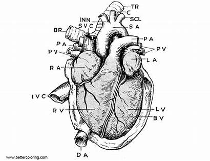 Anatomy Coloring Heart Pages Printable Adults