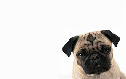 Pugs Pug Wallpapers Dog Desktop Funny Background