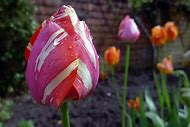 Spring Tulip Landscape