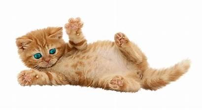 Kot Rudy Tła Bez Elwira Pinger Pluspng