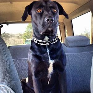 Black lab pit bull mix. Those eyes! | cute animals ...