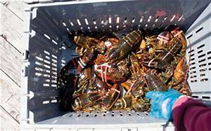 Live Sea Lobsters - Buy Live Lobster Product on Alibaba.com