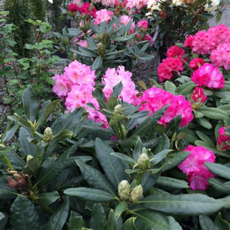 how to plant a rhododendron shrub rhododendron palmer plants