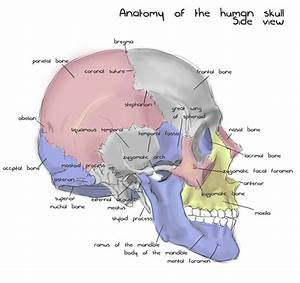 Annotated Human Skull Anatomy