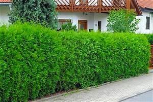 Bewässerungsschlauch Für Hecken : 100 stk lebensbaum thuja occidentalis 40 70 f r hecken ebay ~ Frokenaadalensverden.com Haus und Dekorationen