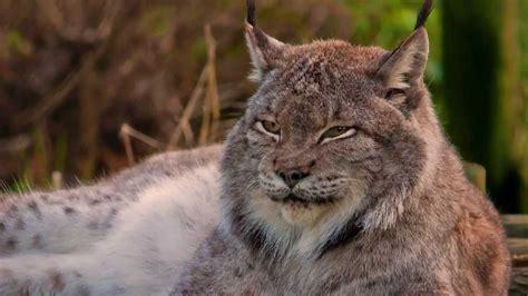 wild cats amazing