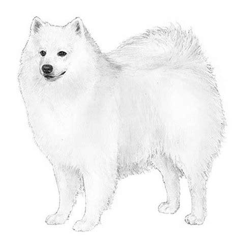 american eskimo dog dog breed information