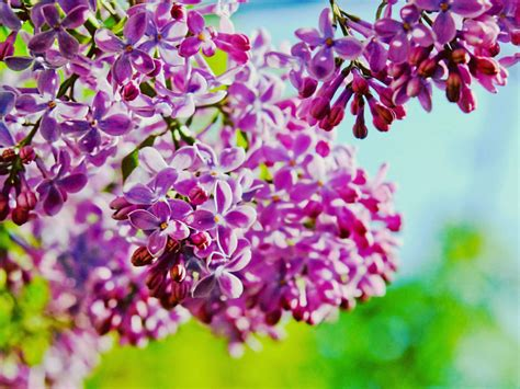 lilac hd background twig  purple flowers