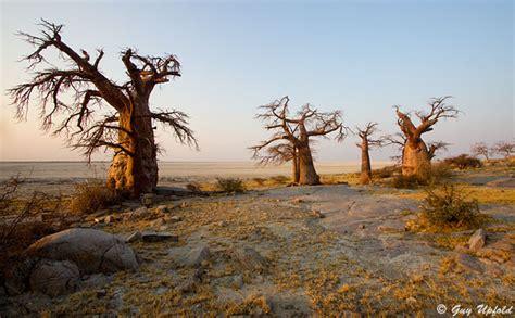 Guy Upfold - Photos of the baobab trees of Kubu Island ...