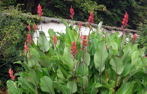 Indisches Blumenrohr Vermehren by Canna Indica Indisches Blumenrohr Pflanzenreich