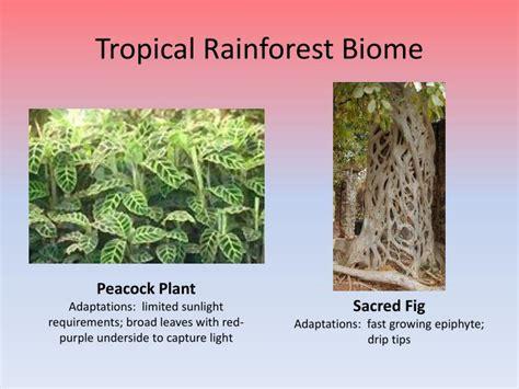 Savanna and Tropical Rainforest Biomes PowerPoint