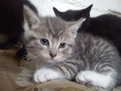 Kitten For Sale by Cross Bengal Adorable Kitten For Sale Chester Cheshire