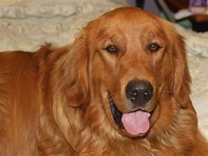 Dark Golden Retriever Puppies Hair Dog Breeds Puppies ...