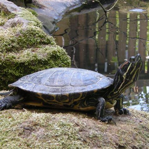 tortue de floride aquarium