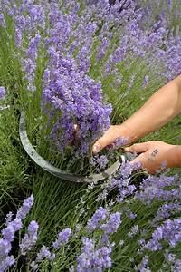 Heidelbeeren Pflanzen Zeitpunkt : der verwendungszweck entscheidet bber den zeitpunkt der ernte mimikos garden lavendel ~ Orissabook.com Haus und Dekorationen