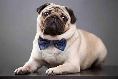 Pugs Wallpapers Pug