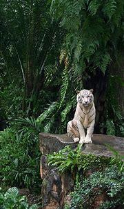 Gorgeous White Tiger | Animals wild, Animals beautiful ...
